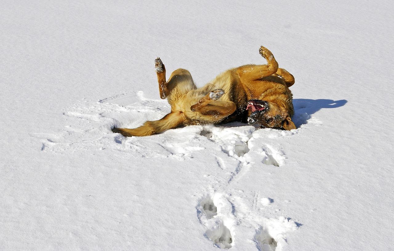 dog, snow, german shepherd