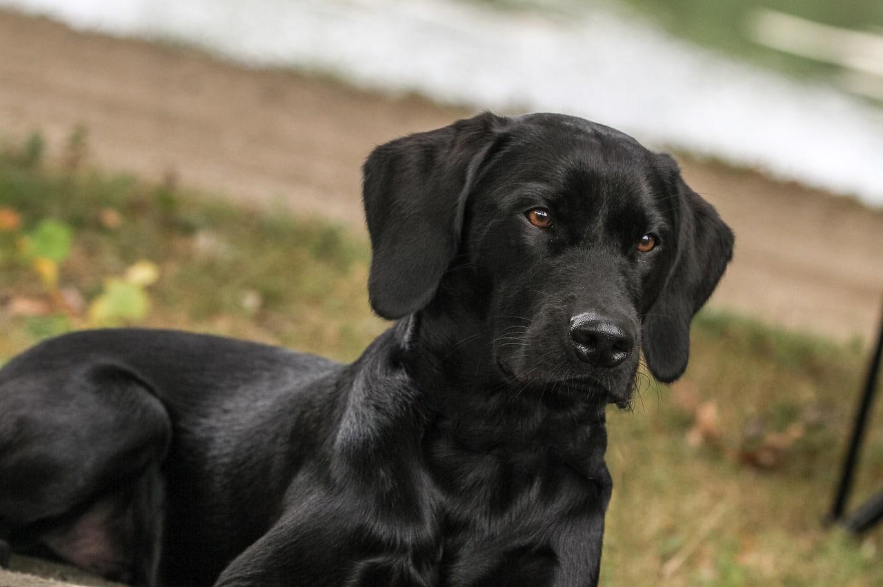 labrador, dog, view