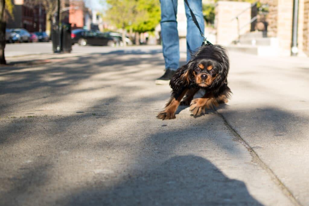cavalier king charles spaniel pulling on a leash