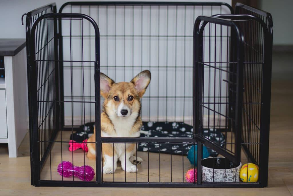 corgi puppy in a pen, or crate