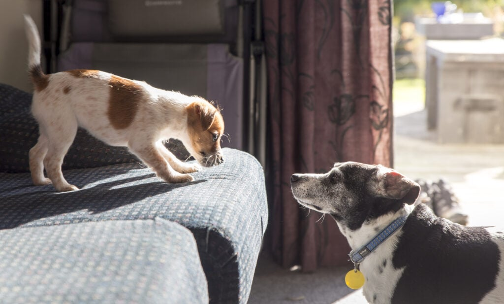 introducing puppy to older dog