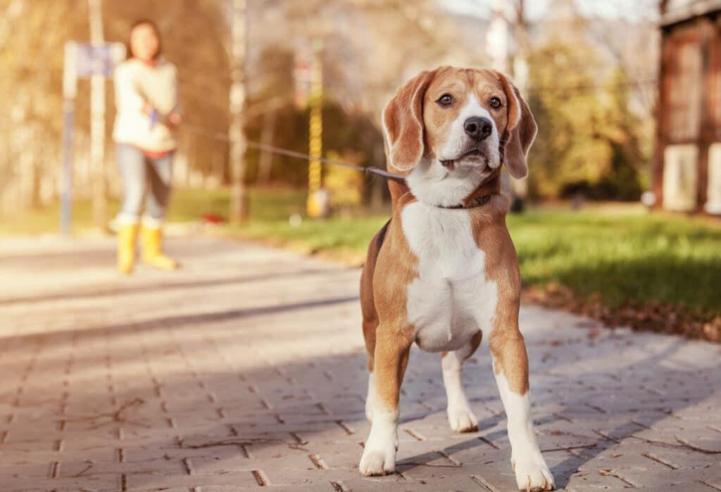 beagle on a flexi retractable leash